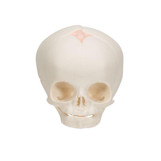 Crâne de fœtus, sans support A25