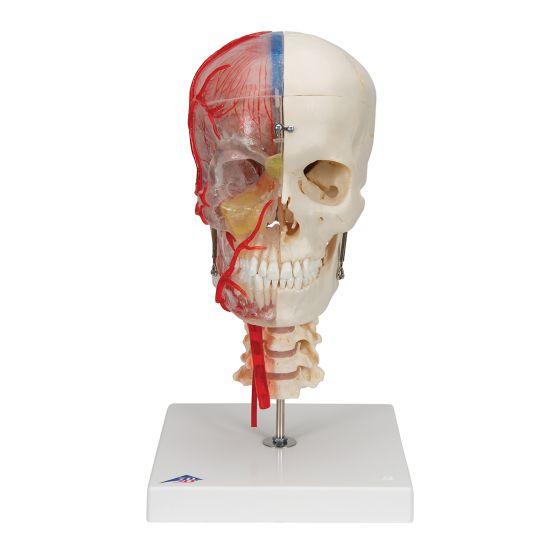 Crâne didactique de luxe, 7 parties A283