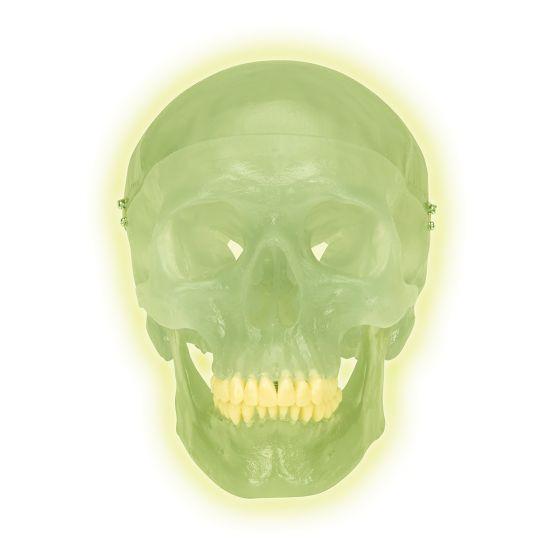 Crâne fluorescent en trois parties A20/N