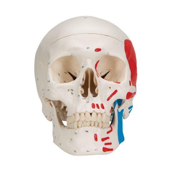 Crâne humain peint en 3 parties A23