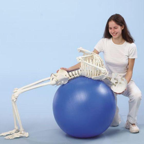 """Squelette """"Hugo"""" avec colonne vertébrale flexible 3014 Erler Zimmer"""