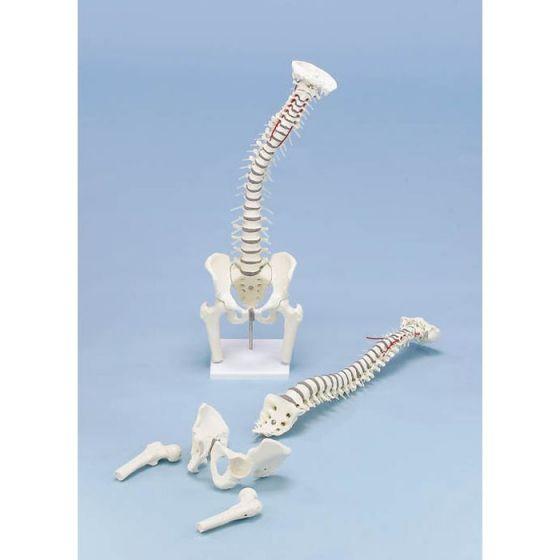 Colonne vertébrale avec bassin démontable et tronçons fémoraux - avec socle - 4014 Erler Zimmer