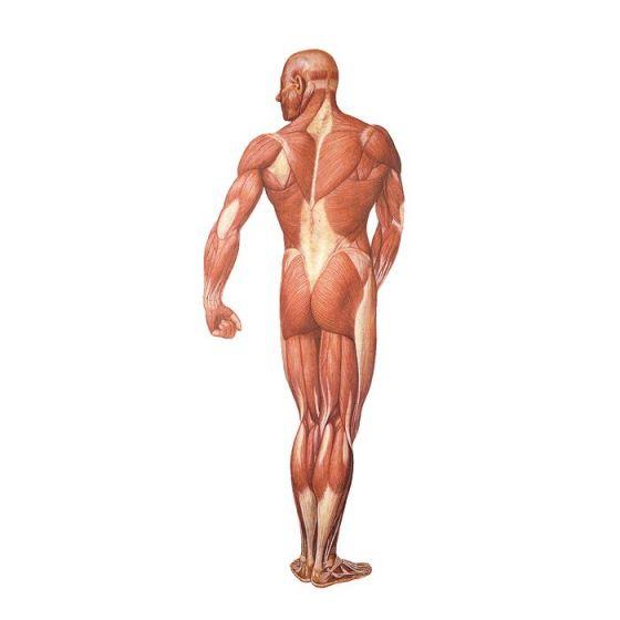 Planche anatomique La musculature humaine, vue dorsale V2005U
