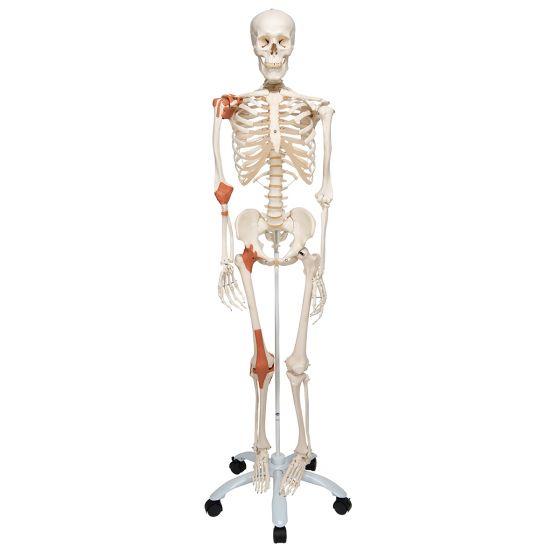 Léo, le squelette avec ligaments A12