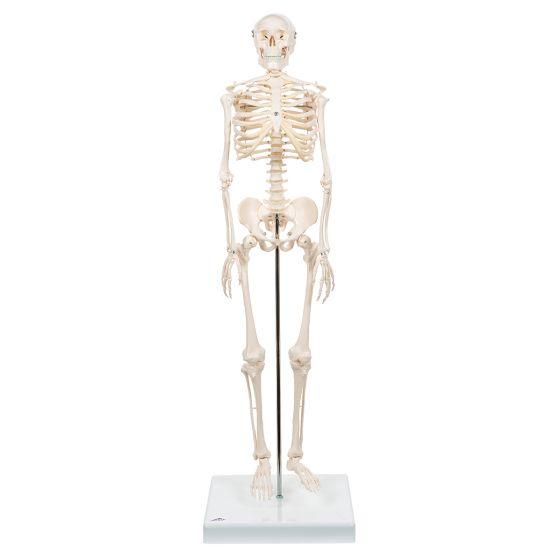Mini-squelette Shorty, sur socle A18