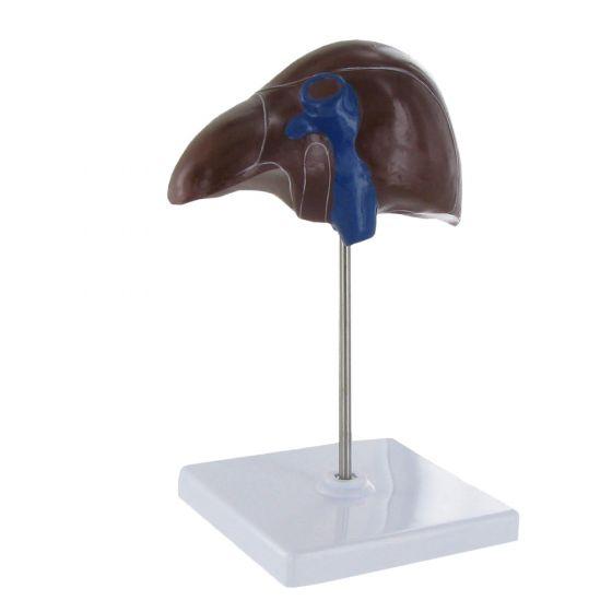Modèle anatomique de foie Mediprem