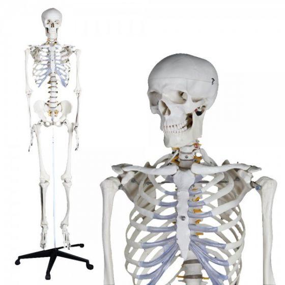 Modèle anatomique de squelette humain 180cm Mediprem