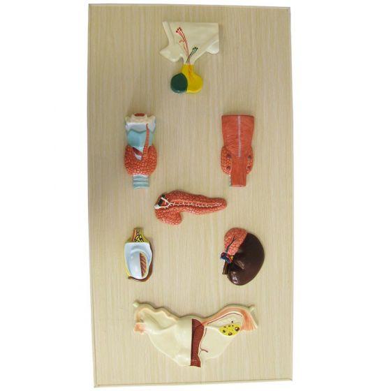 Modèle anatomique de système endocrinien Mediprem