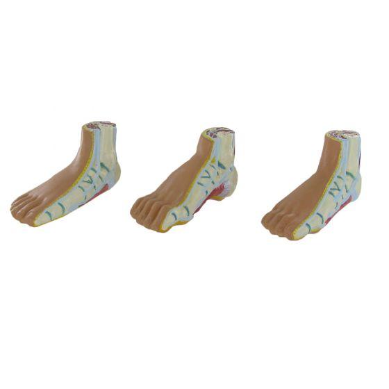 Modèle anatomique des muscles du pied Mediprem