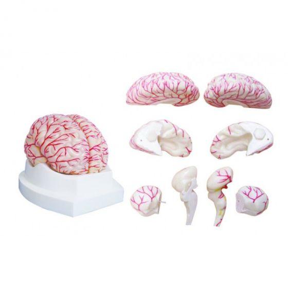 Modèle de cerveau avec artères en 2 parties