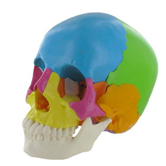 Modèle de crâne humain articulé coloré en 22 pièces version didactique Mediprem