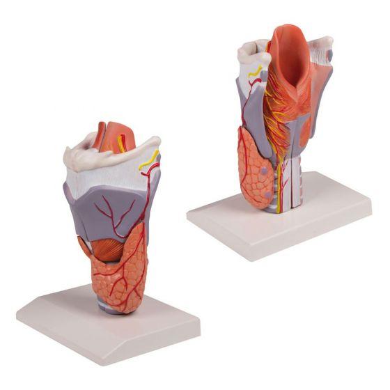Modèle de larynx agrandie en 5 pièces