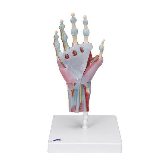 Modèle de squelette de la main avec ligaments et muscles M33/1
