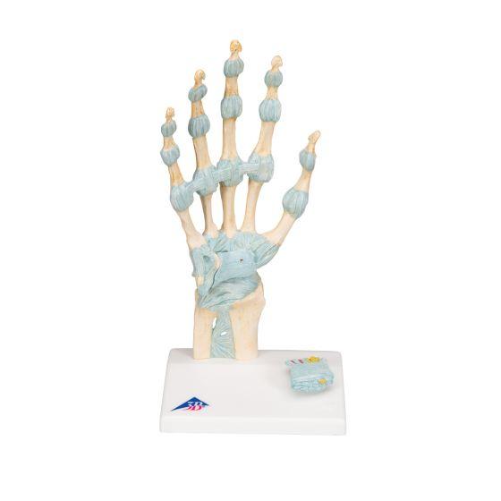 Modèle de squelette de la main avec ligaments et tunnel carpien M33