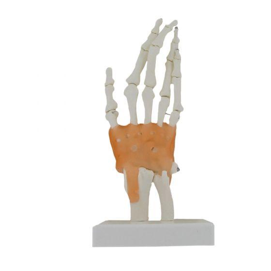 Modèle de squelette de main avec ligaments Mediprem