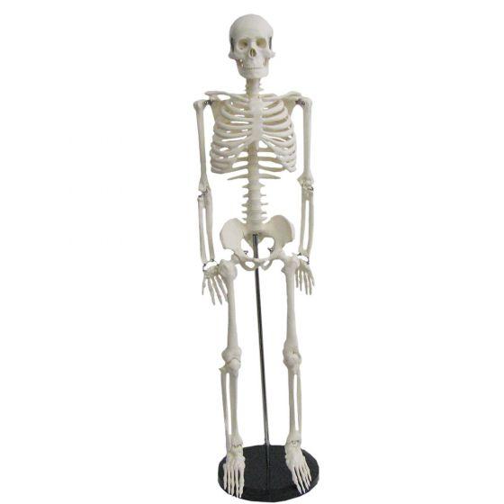 Modèle de Squelette humain miniature Shorty 85cm sur base Mediprem