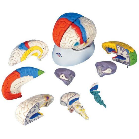 Modèle des fonctions du cerveau, en 8 parties C22