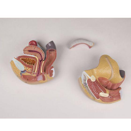Modèle d'organe génital féminin en 4 parties