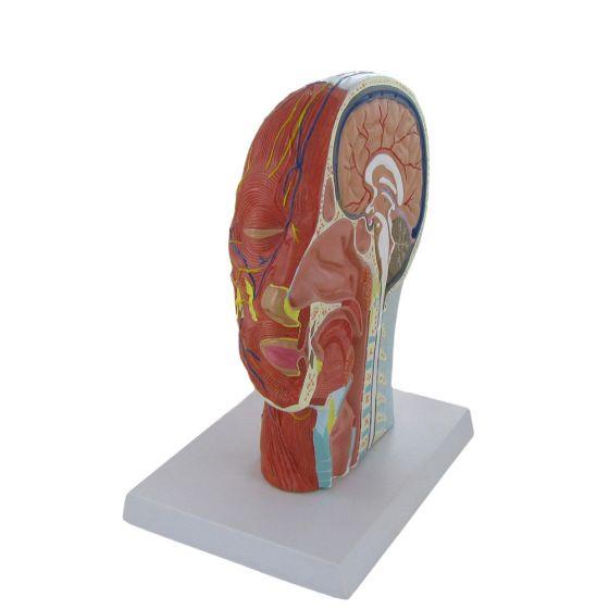 Modèle en relief coupe médiane de la tête Mediprem