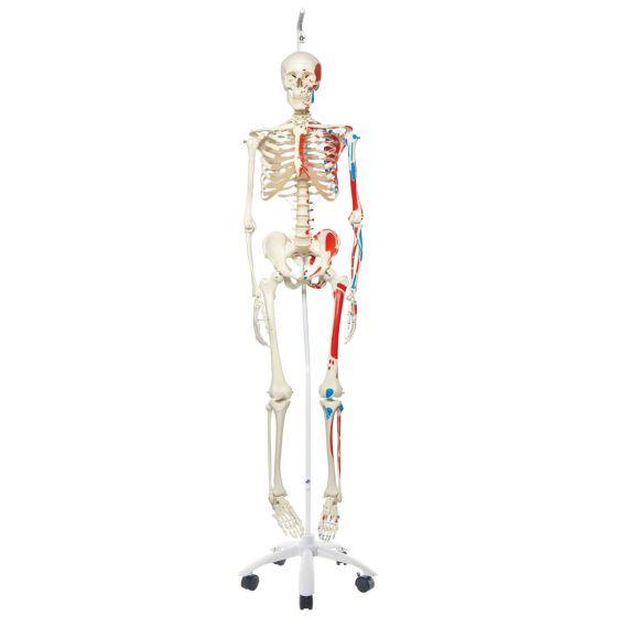 Squelette classique Max avec représentation des muscles, sur support suspendu A11/1