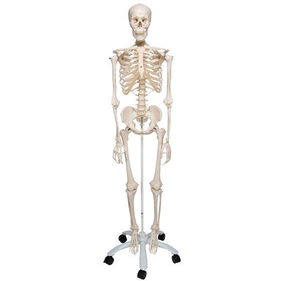 Squelette classique Stan, sur support à 5 roulettes A10