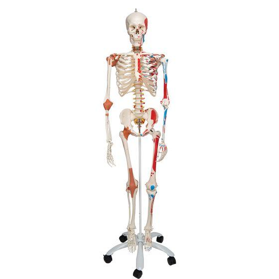 Squelette de luxe Sam, sur support 5 roulettes A13