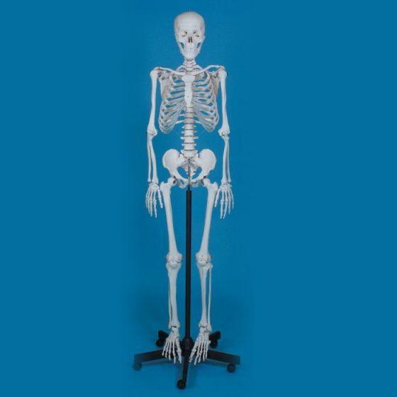 Squelette humain Ben sur support à 5 roulettes Erler Zimmer