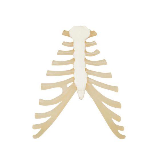 Sternum avec cartilage de la côte  A69
