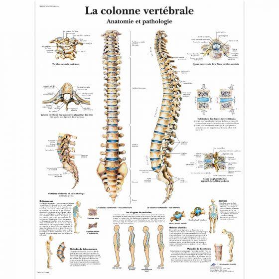 Planche anatomique La colonne vertébrale, Anatomie et pathologie VR2152L