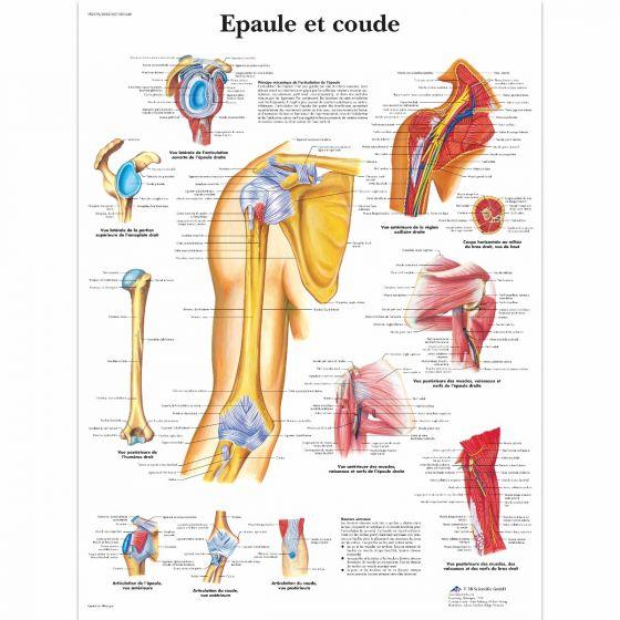 Planche anatomique Epaule et coude VR2170L