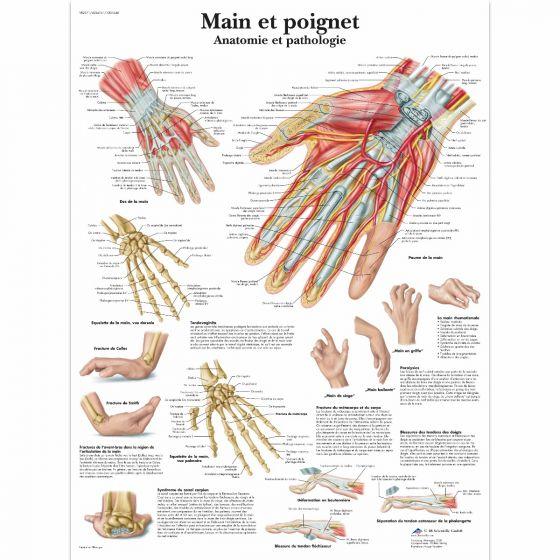 Planche anatomique Main et poignet - Anatomie et pathologie VR2171L