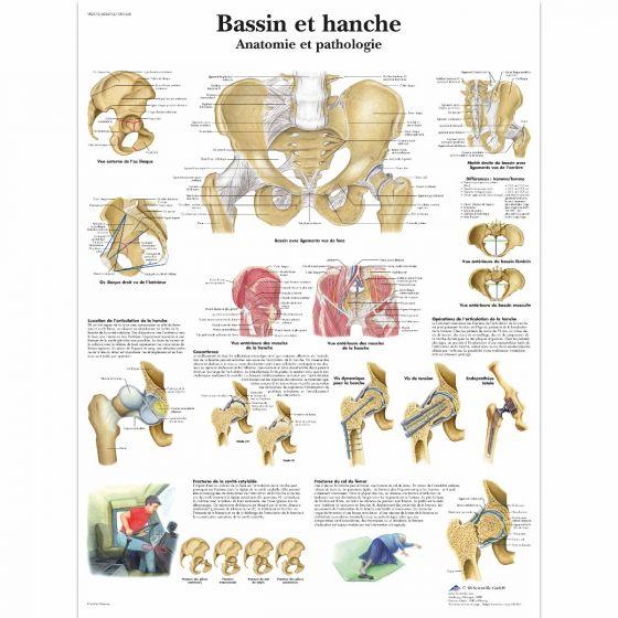 Planche anatomique Bassin et hanche - Anatomie et pathologie VR2172L