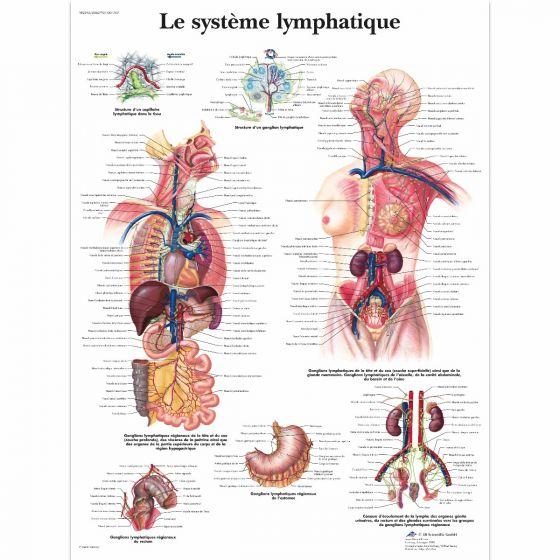 Planche anatomique du système lymphatique VR2392L