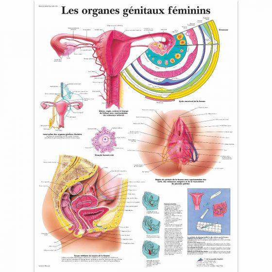 Planche anatomique Les organes génitaux féminins VR2532UU