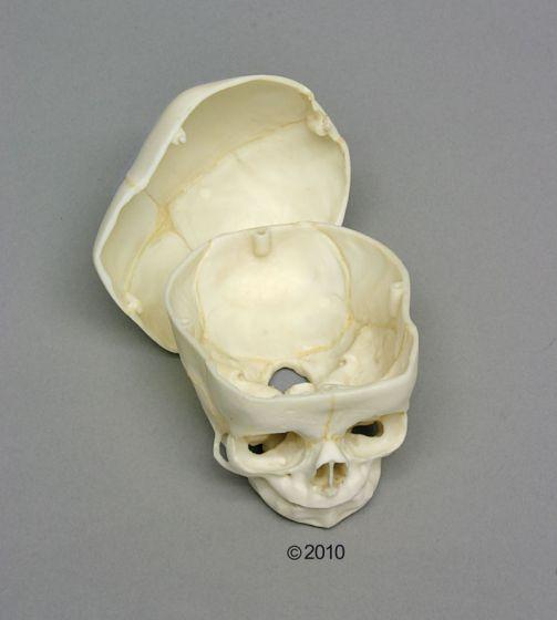 Crâne de fœtus 40 semaines démontable 4727 Erler Zimmer