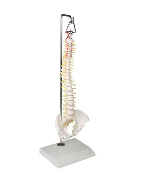Colonne vertébrale miniature suspendue avec bassin 4002 Erler Zimmer
