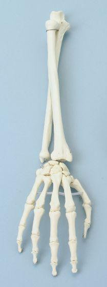Squelette de la main et avant-bras 6008 Erler Zimmer