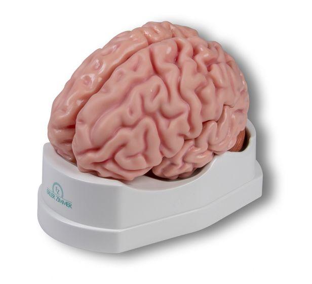 Modèle de cerveau en 5 parties Erler Zimmer C918