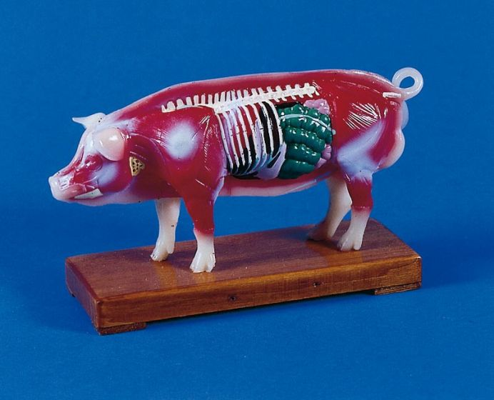 Modèle d'acupuncture chinoise sur cochon 2054 Erler Zimmer