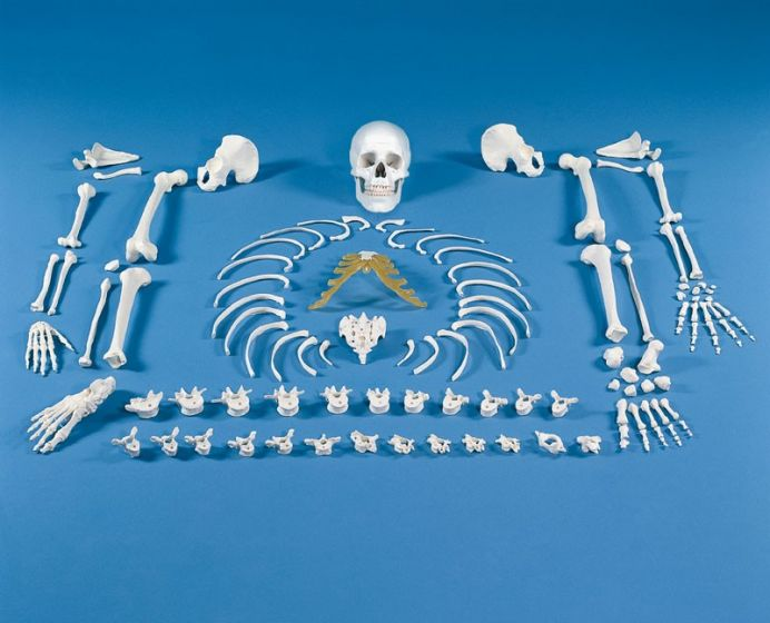 Squelette démonté, complet 3020 Erler Zimmer