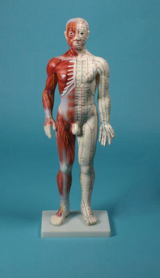 Modèle masculin d'acupuncture 60 cm 2051 Erler Zimmer
